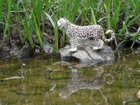 Felinos no Fotosafari